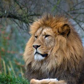by Jiri Reisser - Animals Lions, Tigers & Big Cats