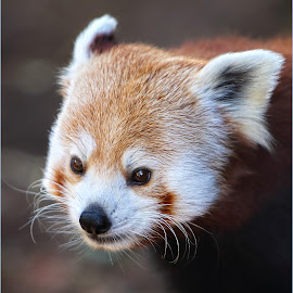 Red Panda by Dennis Ba - Animals Other Mammals