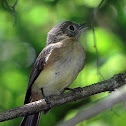 Whiskered Flycatcher