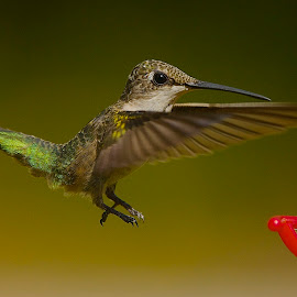 Coming In For A Landing by Roy Walter - Animals Birds ( wild, animals, nature, wings, feathers, birds, hummingbirds )