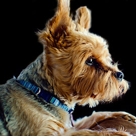 Hannah the sofa queen. by Steve Forbes - Animals - Dogs Portraits