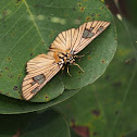 Veined skipper