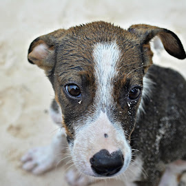 Lost Puppy on the Beach by Tonja Wolfe-Throgmorton - Animals - Dogs Portraits