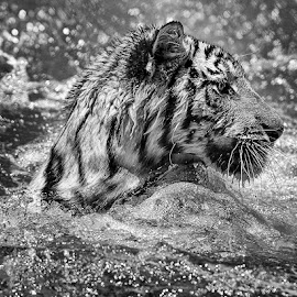 by Lisa Coletto - Animals Lions, Tigers & Big Cats ( water, tiger, black and white, swim,  )