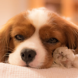 I'm so~ sleepy, good night by 錦 吳 - Animals - Dogs Puppies ( sleepy, puppy, cute, sleep, dog,  )