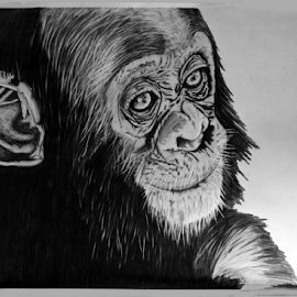 Baby Chimp by Paul Murray - Drawing All Drawing ( pencil, art, wilslife, drawing, chimp, animal )