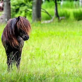Miniature Stallion by Lou Plummer - Animals Horses ( stallion, animals, horse, travel, miniature,  )