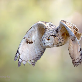 Owl by Stefano Ronchi - Animals Birds