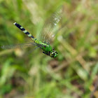 Eastern Pondhawk dragonflies (females, in flight)
