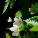 Common wood sorrel, szczawik zajęczy