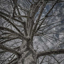 The Brain-Tree by Johannes Oehl - Nature Up Close Trees & Bushes ( plant, clouds, hdr, white, limb, sky, trunk, winter, tree, blue, oak, bark, grey )