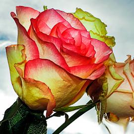 three roses by LADOCKi Elvira - Flowers Flower Arangements