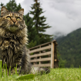 Attencion by Luca Guido - Animals - Cats Portraits ( #mountain, #cat, #free )