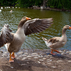 Butt out mister, she's my girl by Mike O'Connor - Animals Birds ( wings, ducks, mates, flap, birds )