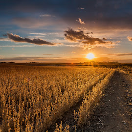 Sunset over Soybeans by Chris Hurst - Landscapes Sunsets & Sunrises ( field, farm, north dakota, soy beans, sunset, soy bean, soybean, soy bean field, soybean field, farming, soybeans,  )