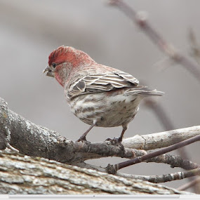 Cassin's Finch by Suann Vandewalker - Animals Birds