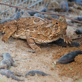 Horned Toad by Karmann Elliot - Animals Reptiles ( lizard, animals, desert, texas, toad, south texas, reptile, horned toad, horny toad,  )