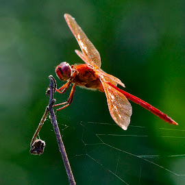 Dragon fly on a branch by Sandy Scott - Animals Insects & Spiders ( dragonfly close-up, flying insect, insects, dragonfly, winged insects,  )