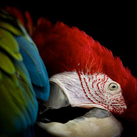 Green Winged Macaw 1 by Bonnie Marquette - Animals Birds ( winged, bird, nature, avian, green, pet, parrot, portrait, animal, macaw )