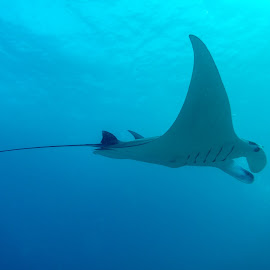 Majestic Manta Ray by Colin Davis - Animals Sea Creatures ( ray, manta ray, majestic )