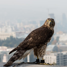 King of Tbilisi by Sveta Celik - Animals Birds