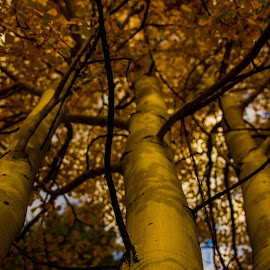 Fall Twighlight by Eric Zittel - Nature Up Close Trees & Bushes ( trunk, tree, fall, yellow, aspens,  )