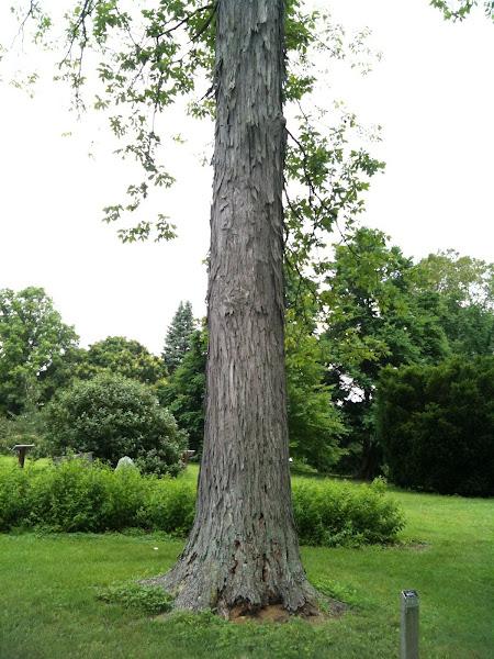 Shagbark hickory tree project noah