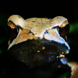 Face off by Chiranth Jain - Animals Amphibians ( frog, amphibian, night, forest, close up )