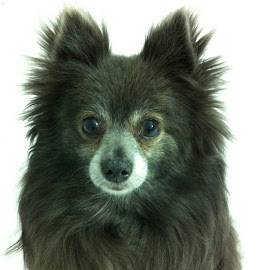 Tizzy by Michelle Bergeson - Animals - Dogs Portraits ( blue, pet, dog, pomeranian, animal,  )