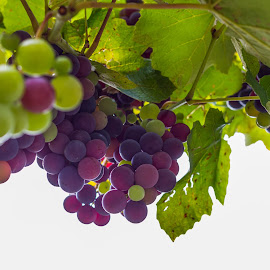Grapes by Cesare Morganti - Nature Up Close Gardens & Produce ( fruit, nature, grapes, grape, nature up close )