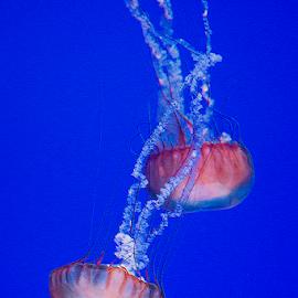 stinging pacific sea nettles by Lennie Locken - Animals Sea Creatures