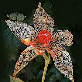 Star Behind My Way by Marija Jilek - Nature Up Close Other plants ( nature, lace lantern, star, seed/fruit, plants, way, physalis alkekengi )