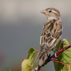 sparrow by Stuart Watson - Animals Birds ( bird, hedge, lookout, alert, sparrow )