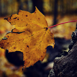 by Chandra Whitfield - Nature Up Close Leaves & Grasses ( nature, autumn, fall, leaf, leaves, photography )