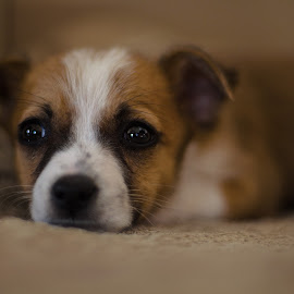 Asher by Benita Walker - Animals - Dogs Puppies ( puppies, animals, dogs, atineb57, passionfruit photography )