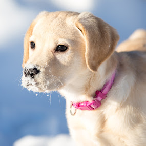by Beaver Tripp - Animals - Dogs Portraits ( winter, 2014, mia, puppy, lab )