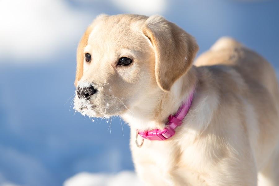 by Beaver Tripp - Animals - Dogs Portraits ( winter, 2014, mia, puppy, lab )