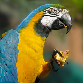 Big Parrot by Jacob Padrul - Animals Birds ( colorful, bright, parrot, bright colors )