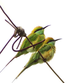 Green Bee eaters...! by Suyash Godbole - Animals Birds ( bee eaters, birds, green bee eaters )
