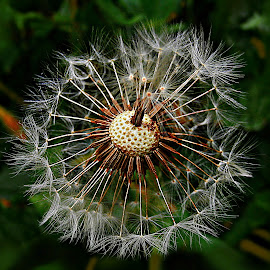 Proud at the End  by Marija Jilek - Nature Up Close Other plants ( dandelion, nature, plants, seeds, proud, stem, head, end )