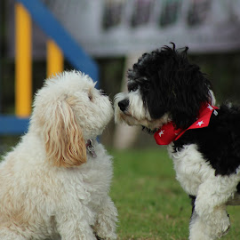 First Kiss by Chris Knowles - Animals - Dogs Playing