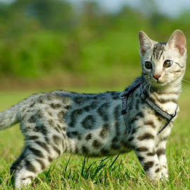 Baby Bengal by Rebecca Bradford - Novices Only Pets ( kitten, bengalkitten, bengal,  )