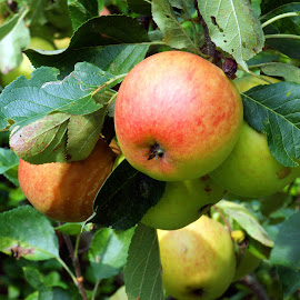 Apples by Ad Spruijt - Nature Up Close Gardens & Produce ( fruit, apple tree, apple, fruits, apples )