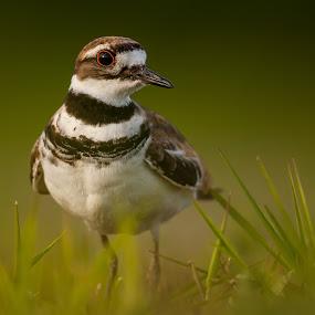 Killdeer by Tom Samuelson - Animals Birds