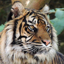 Awesome! by Kathryn Willett - Animals Lions, Tigers & Big Cats ( big cat, tiger, zoo, captive, portrait )