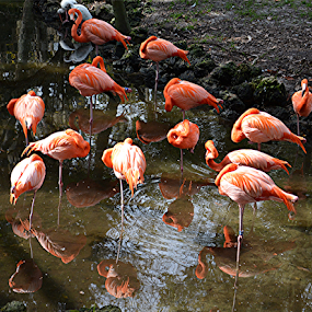 by Raymond Earl Eckert - Animals Birds ( flamingo; white; warter; coral; pink; color,  )