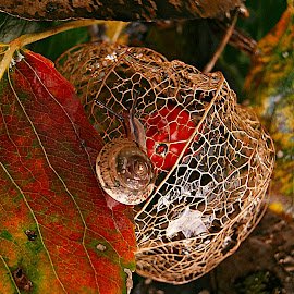 What are you Looking For? by Marija Jilek - Nature Up Close Other Natural Objects ( nature, lace lantern, plants, physalis alkekengy, leaves, snail, seeds/fruits )