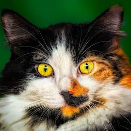 Callie-Q by Mark Nesseth - Animals - Cats Portraits
