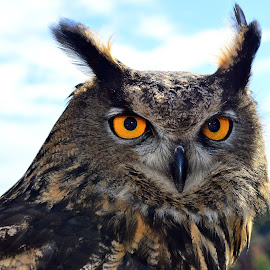 What big eyes you have by Larry Strong - Animals Birds ( bird, owl, raptor, eyes )