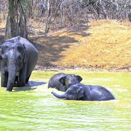 Elephants by Jaliya Rasaputra - Animals Other Mammals